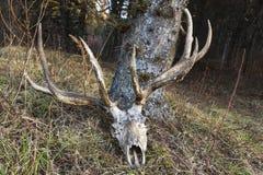 鹿/麋鹿角的头骨 库存图片