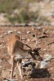 鹿& x28; Cervinae& x29;特写镜头 免版税库存图片