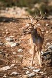 鹿& x28; Cervinae& x29;特写镜头 库存图片