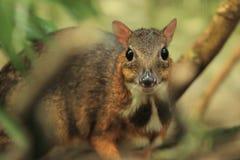 鹿Java鼠标 免版税图库摄影