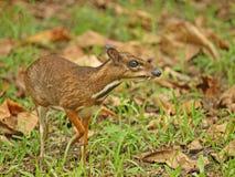 鹿kanchil少许鼠标 免版税库存照片