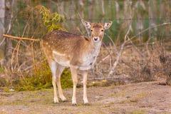 鹿potrait,动物面孔画象 免版税库存照片