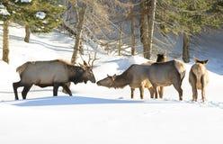 麋会议在冬天 库存照片