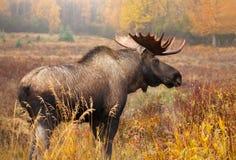 麋公牛,阿拉斯加,美国 站立在秋天颜色草甸 库存图片