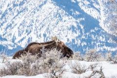 麋在冬天在雪放下在国家公园  库存照片
