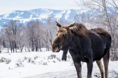 麋在冬天在雪放下在国家公园  库存图片