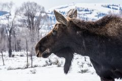 麋在冬天在雪放下在国家公园  免版税库存图片