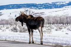 麋在冬天在雪放下在国家公园  免版税库存照片