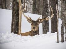 麋在森林 免版税库存照片