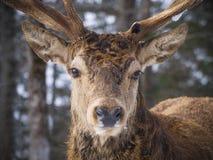 麋在森林 免版税库存图片