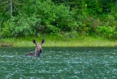麋在湖游泳 库存图片