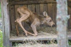 麋在野生生物公园(母小牛) 免版税库存照片