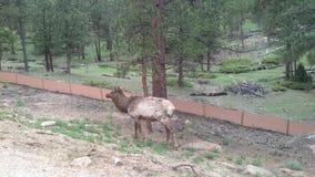 麋在Estes公园, CO 免版税库存图片