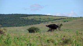 麋小牛在森林 影视素材
