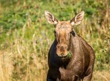 麋或欧洲麋驼鹿属驼鹿属女性吃绿色离开 免版税图库摄影