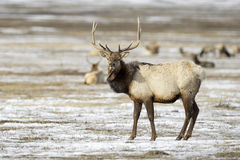 麋或马鹿在冬天 免版税库存图片
