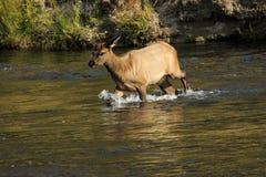 年轻麋横穿小河在黄石 库存照片