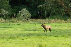 麋牧群在俄勒冈 免版税库存照片