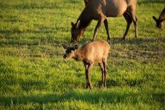 麋牧群在俄勒冈 库存照片