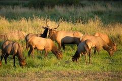 麋牧群在俄勒冈 图库摄影