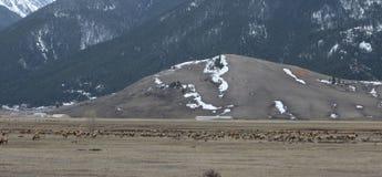 麋牧群  免版税图库摄影
