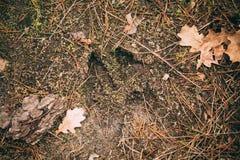 麋跟踪,在地面的脚印步 库存图片