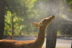 麋饮用的水的储蓄图象 免版税库存图片