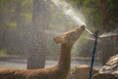 麋饮用的水的储蓄图象 库存照片