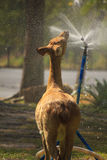 麋饮用的水的储蓄图象 库存图片