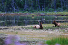 麋,贾斯珀国家公园 免版税图库摄影