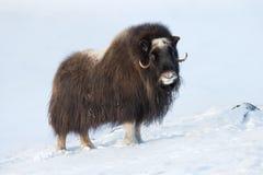 麝牛在冬天 图库摄影