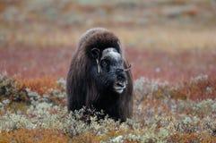 麝牛在寒带草原 免版税图库摄影