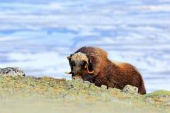 麝牛,麝牛moschatus,与山和雪在背景中,大动物在自然栖所,格陵兰,大长的毛皮美洲黑杜鹃 库存图片