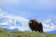 麝牛,麝牛moschatus,与山和雪在背景中,大动物在自然栖所,格陵兰 免版税库存照片