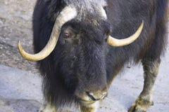 麝牛 免版税库存图片
