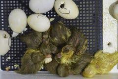 麝香从鸡蛋孵化的鸭子鸭子 免版税库存图片