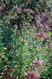 麝香草在庭院里 库存图片