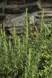 麝香草植物关闭 库存图片