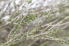 麝香草灌木分支  库存照片