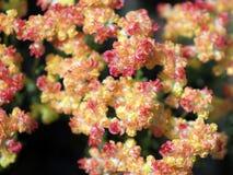 麝香草荞麦花- Eriogonum thymoides 库存照片