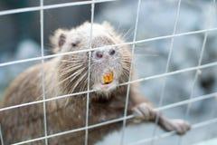 麝香鼠在囚禁的Ondatra zibethica 免版税库存照片