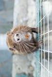 麝香鼠在囚禁的Ondatra zibethica 库存照片