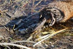 麝香鼠尾巴的迷离,它游泳  库存照片
