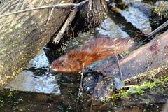 麝香鼠(Ondatra zibethicus)在伊利诺伊 库存照片