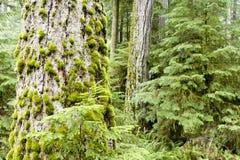 麦克米伦省公园大教堂树丛温哥华岛 库存照片