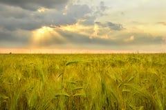 黑麦和日落的耳朵 免版税库存图片
