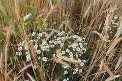 黑麦和春黄菊 库存图片