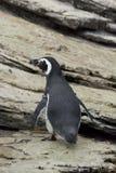 麦哲伦企鹅在里斯本Oceanario 免版税库存照片