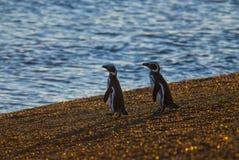 麦哲伦企鹅,巴塔哥尼亚,阿根廷 库存照片