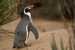 麦哲伦企鹅 库存照片